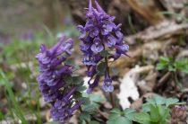 Хохлатка цветок: описание, фото