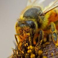 Заболевания пчел: пчелы-инвалиды