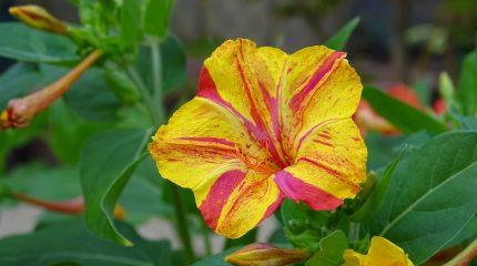 Цветок Мирабилис (Ночная красавица) — фото