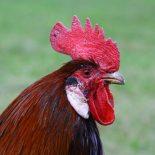 Петух —  25 фото петухов, самые крутые снимки!