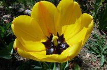 Тюльпаны в саду нашей читательницы (фото) или Сажаем тюльпаны правильно