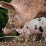Свинья – домашнее животное