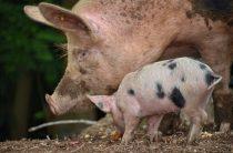 Свинья — домашнее животное