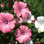 Пышные клумбы – самые неприхотливые цветы для дачи. Часть 4