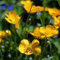 Растение калужница болотная: описание, 22 фото