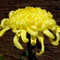 Хризантемы — 37 фото