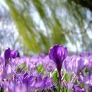 Схема весеннего цветника из многолетников
