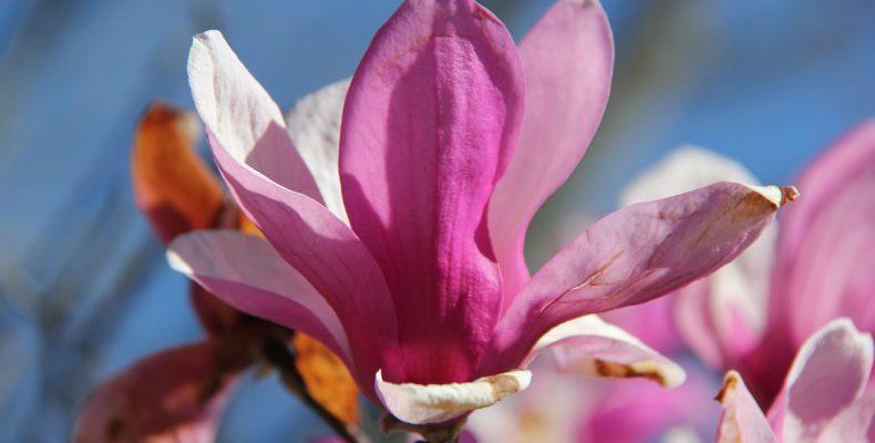 Магнолия — 25 великолепных фото цветов