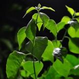 Зеленое черенкование