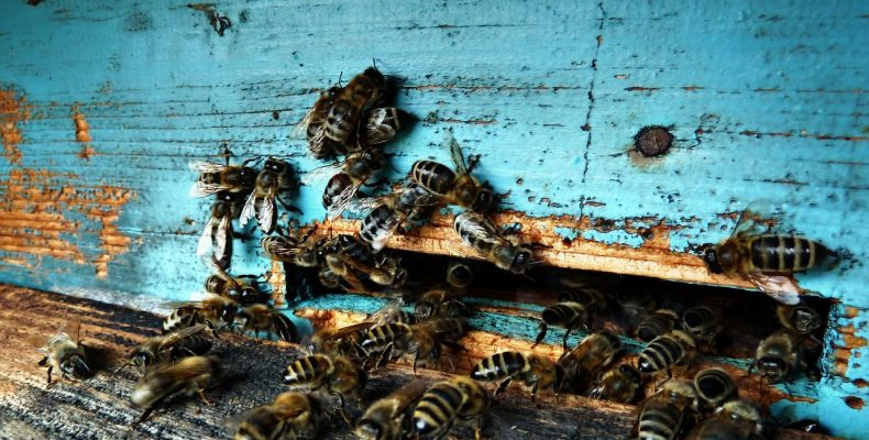 Переполнение кишечника пчел во время зимовки — 5 причин
