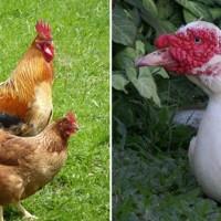 Разведение домашней птицы: ветеринарные препараты для кур и индоуток
