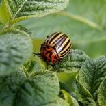 Народные средства от колорадского жука