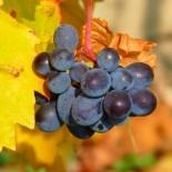 Посадка винограда осенью черенками