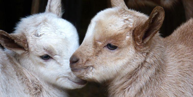 Клички овец и коз. Как назвать козленка или ягненка — предлагают читатели!