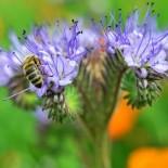 Медосбор в августе: медоносы августа, высеваемые для пчел