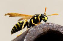 Помощь при укусе пчелы, осы