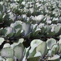 Грунт для рассады капусты