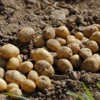 Как прорастить картофель на улице?