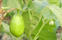 Баклажаны зеленые — сорта