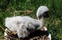 Как выкармливают птенцов аиста: история Кешки