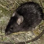 Крыса на огороде. Или все же землеройка?