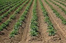 Окучивание растений: какое имеет значение? 9 преимуществ приема агротехники