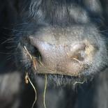 Сколько сена корове?
