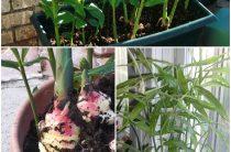 Как вырастить имбирь?