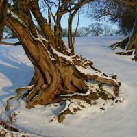 Корни деревьев зимой