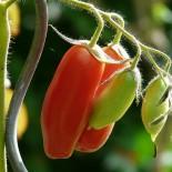 Фитофтора томата
