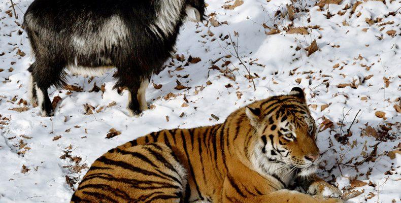 Тигр и козел подружились (фото, видео) или Почему здесь нечему удивляться?