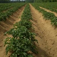 Всходы картофеля: что влияет на их появление или Когда сажать картофель?