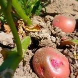 Сорта картофеля для Урала