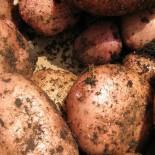 Новые сорта картофеля для Центрального региона
