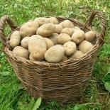 Сорта картофеля для Волго-Вятского региона