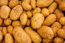 Сорта картофеля для Восточно-Сибирского региона