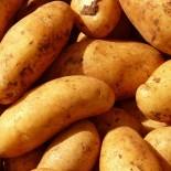 Сорта картофеля для Средневолжского региона
