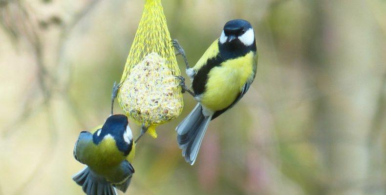 Семейные узы превыше еды — как едят синицы?