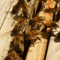 Пчелы в ноябре