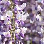 Глициния — выращивание, уход, фото