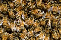 Зимовка пчел в омшанике