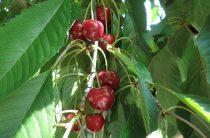 Сорта черешни для Центрального региона
