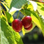 Сорта черешни для Краснодарского края: Северо-Кавказский регион