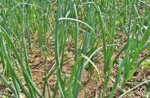Лук семенами: 10 факторов успеха