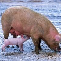 Свиньи зимой