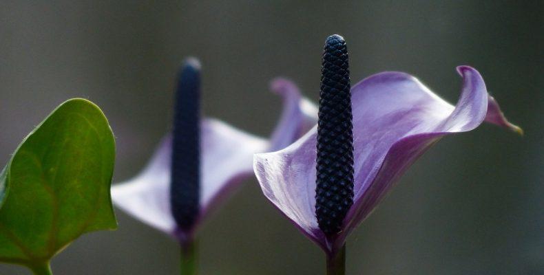 Какие комнатные цветы полезны для дома? ТОП-3