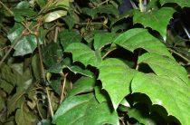 Циссус — комнатный виноград, выращивание, уход