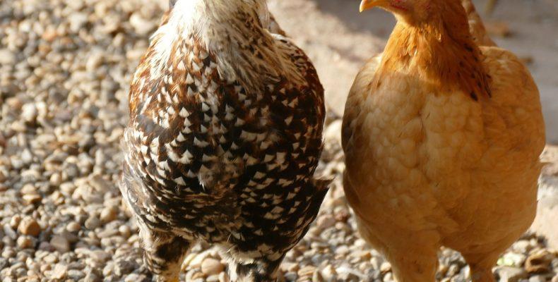 Чем кормить кур летом?