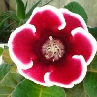 Почему не цветет глоксиния? 8 причин