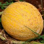 Сорта дыни, выращивание
